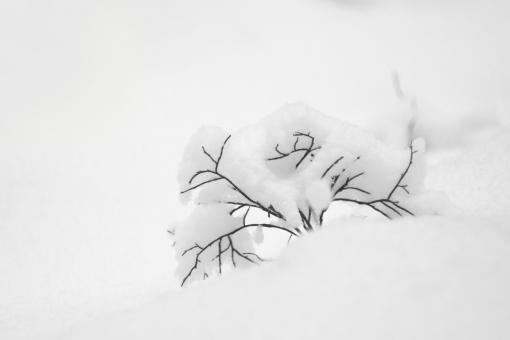 Small bush covered with snow - Free Stock Photo