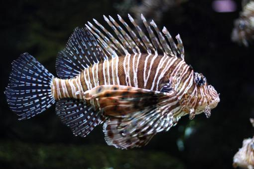 A lionfish swimming under water - Free Stock Photo