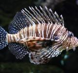 Free Photo - A lionfish swimming under water