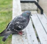 Free Photo - Pigeon