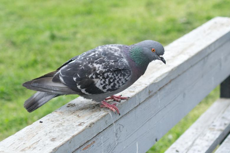 Free stock image of Pigeon created by Mikhail