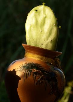 Cactus in a Pot - Free Stock Photo