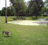 Free Photo - Goose in the Grass