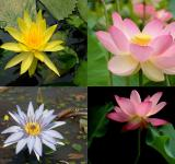 Free Photo - Lotus flowers