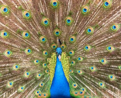 Close-up of a colorful peacock - Free Stock Photo