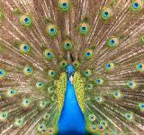 Free Photo - Close-up of a colorful peacock