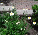 Free Photo - Daisy Garden