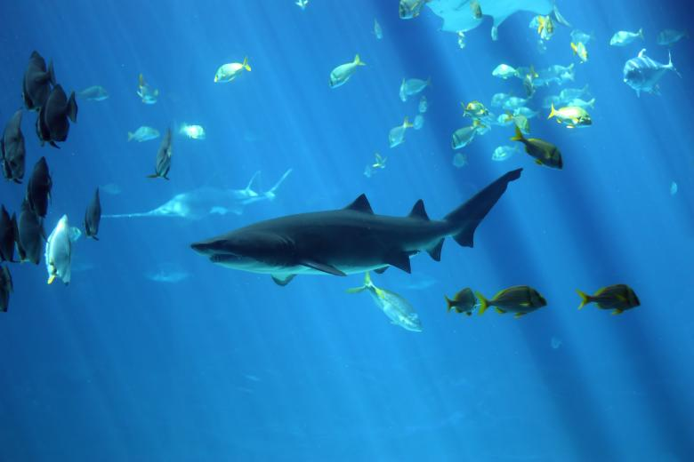 Free Stock Photo of A shark swimming under water Created by Benjamin Miller