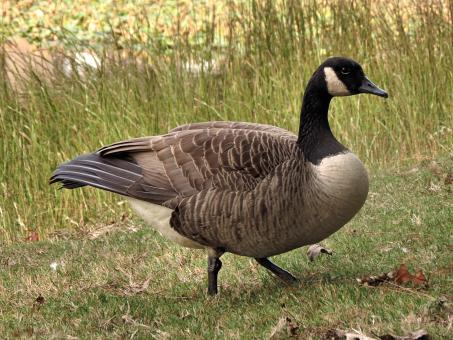 A Canada goose in tall grass - Free Stock Photo