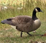 Free Photo - A Canada goose in tall grass