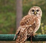 Free Photo - Close-up of a barred owl