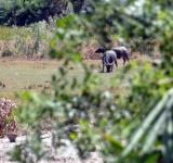 Free Photo - Grazing Water Buffalo