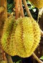 Free Photo - Durian Fruit Tree