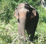 Free Photo - Single elephant walking in a jungle