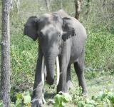 Free Photo - Beautiful large tusk of elephant