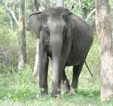 Free Photo - Indian elephant standing