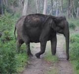 Free Photo - Large indian elephant cross the road