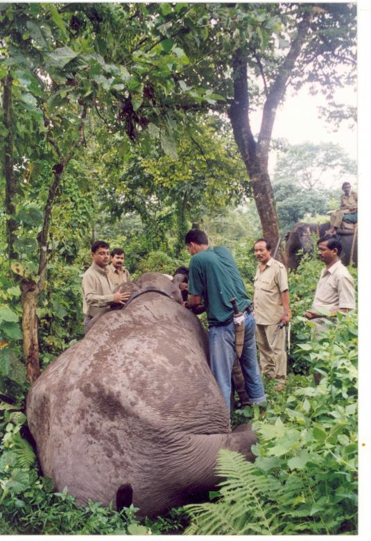 Free Stock Photo of Radio collaring of an elephant Created by Amar Roy