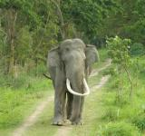 Free Photo - Large tusk elephant in jungle road