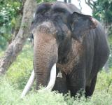 Free Photo - Gigantic elephant in Kaziranga forest