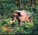 Free Photo - Side view of a Great Tusker with Musth