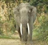 Free Photo - Gigantic tusker elephant of  Kaziranga