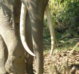 Free Photo - Kaziranga tusker