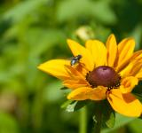Free Photo - Black-eyed susan flower