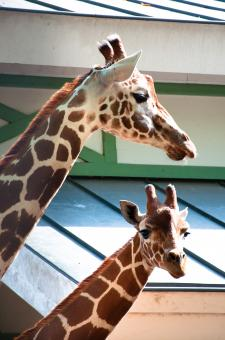 Giraffes in the zoo - Free Stock Photo