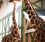 Free Photo - Giraffe in the zoo