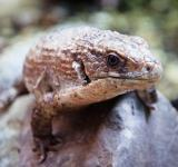 Free Photo - A close up of a lizard