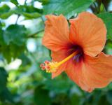 Free Photo - Orange hibiscus tropical flower