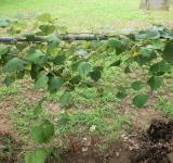 Free Photo - Grapevine on fence
