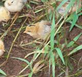 Free Photo - Baby Chicks
