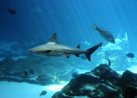A shark swimming under water - Free Stock Photo