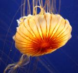 Free Photo - A jellyfish under water