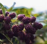 Free Photo - Blackberry fruit