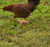 Free Photo - Chicken and chick