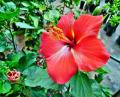 Free Photo - Red color Hibiscus rosa-sinensis flower