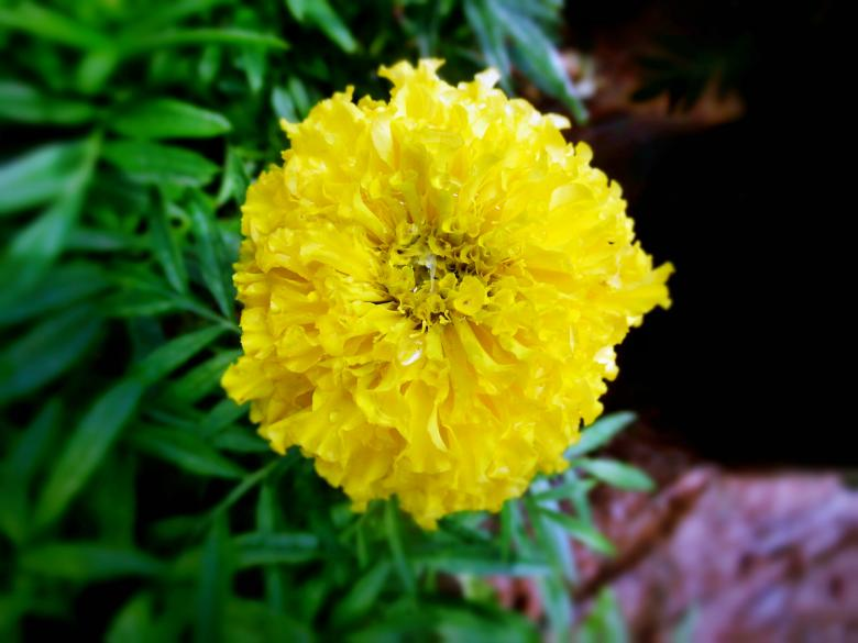 Free Stock Photo of Yellow Marigold Flower Created by Anuraj R V