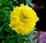 Free Photo - Yellow Marigold Flower