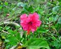 Free Photo - Pink Hibiscus Flower
