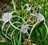 Free Photo - Spider Lily