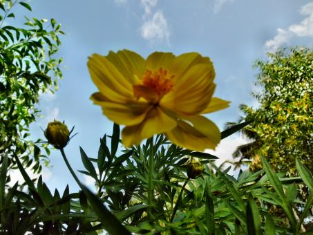 Yellow Tagetes Lucida Flower - Free Stock Photo