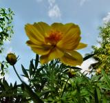 Free Photo - Yellow Tagetes Lucida Flower