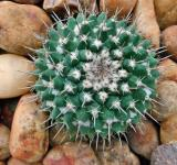 Free Photo - Ball Cactus with pebble stones