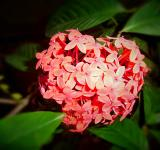 Free Photo - Ixora flower