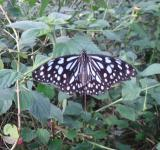 Free Photo - Black and white butterfly