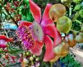 Free Photo - Cannonball tree