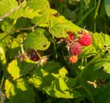 Free Photo - Fruits of raspberry